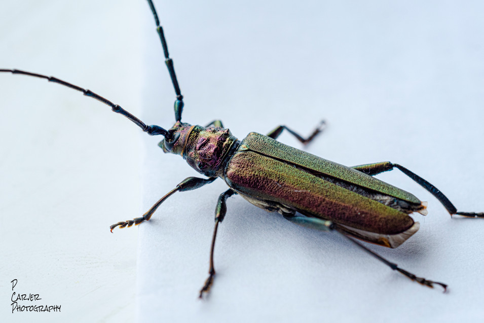 Musk Beetle