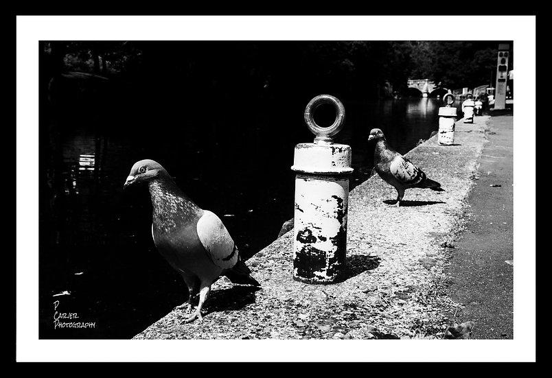 Pigeon Posse