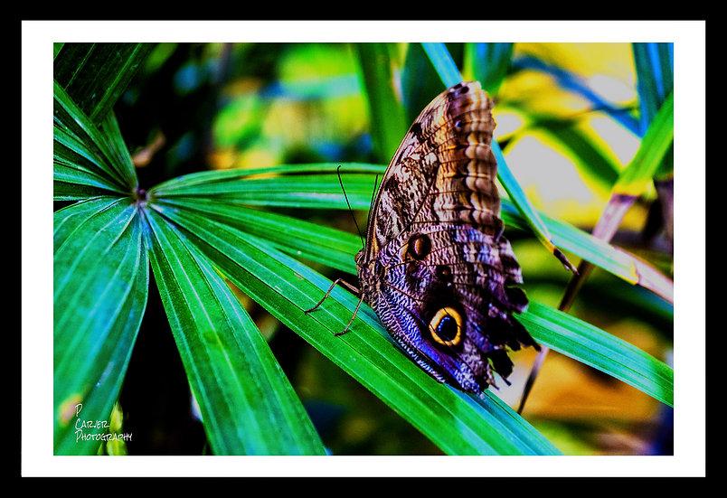 Ox Eye Butterfly