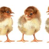 kycklingar mellan png.png