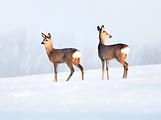 Shutterstock rådjur i snö beskuren png.p