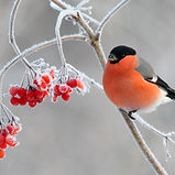 Bullfinch. Bird in winter. Red male on b