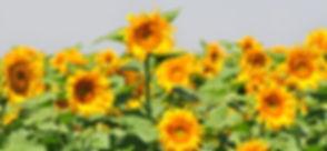 20110812Sunflowers0057 copy.jpg