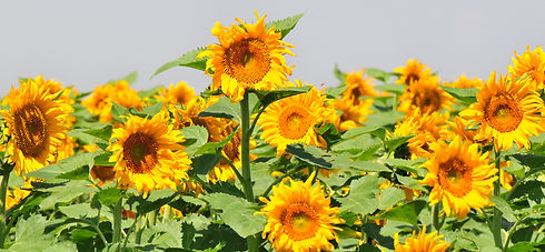20110812Sunflowers0057 copy.jpg