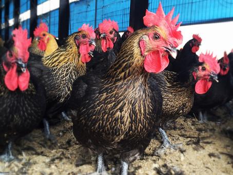 「永漢牧場」林宗漢──飼雞、養家、起家 以愛家之心出發的 良心牧場