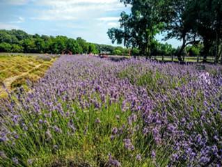 #TBT: Long Island Lavender
