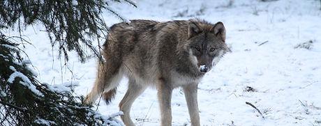 HHL2018_Wolf_IMG_1428.JPG