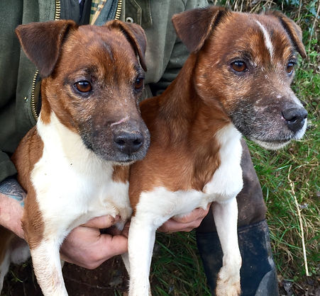 Our first 2 Plummer Terriers, Thorn and Merlin.