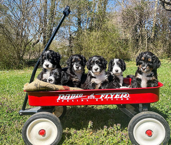 Abby's puppies all in wagon 5 weeks.jpg
