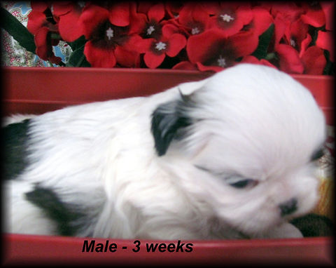Willow's male 3 weeks.JPG