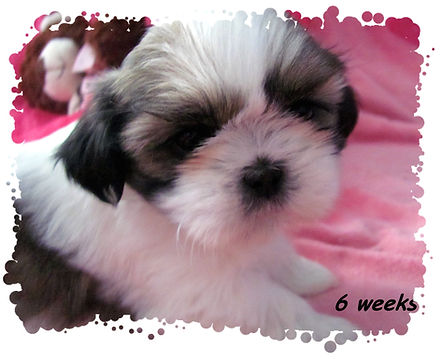 Willow's #2 female 6 weeks.JPG