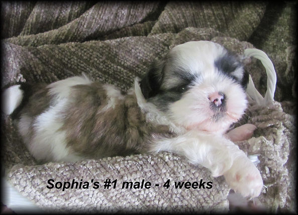 Sophia's #1 male 4 weeks.JPG