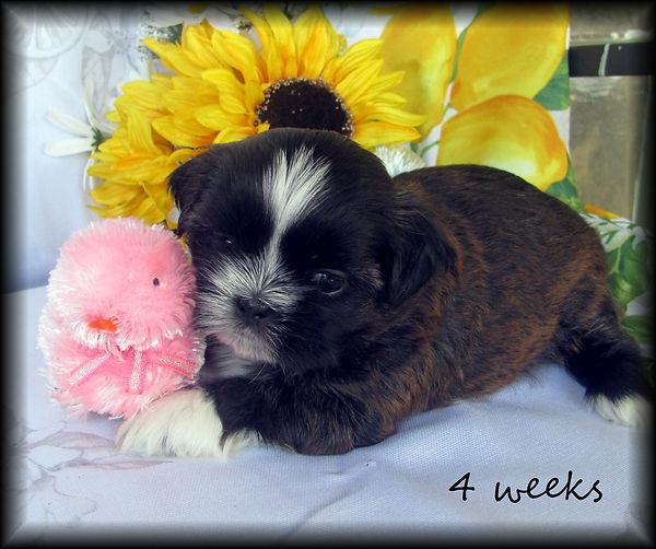 Sassy's #1 female 4 weeks.JPG