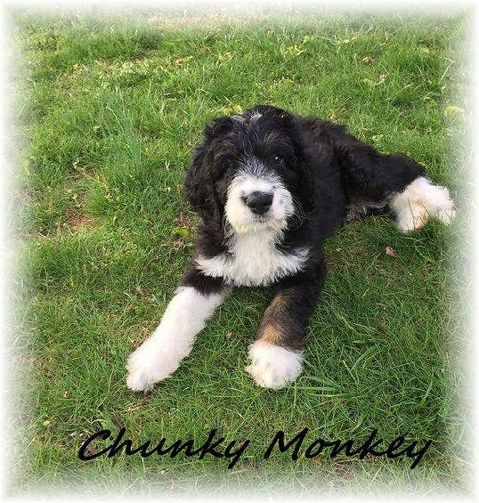 Abby's Chunky Monkey 8 weeks.jpg