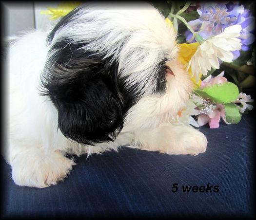 Sophia's #5 male - 5 weeks.JPG