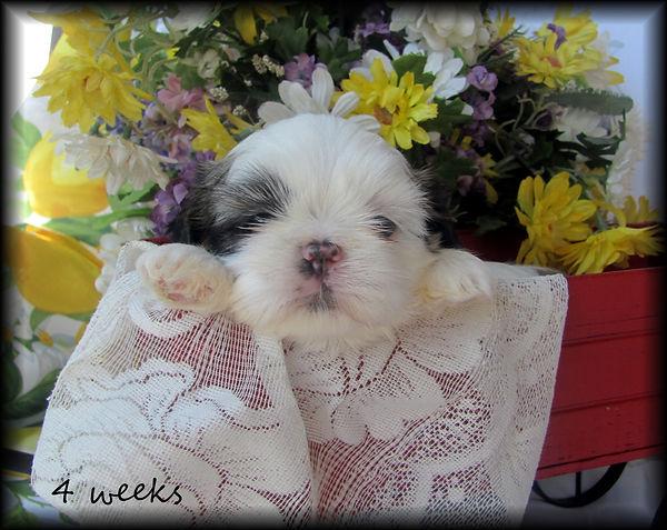 Sassy's #2 male 4 weeks.JPG