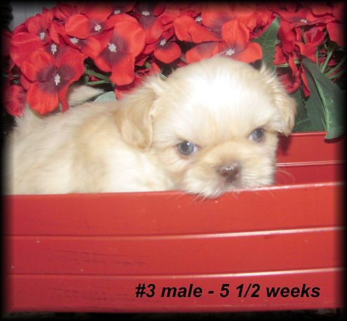 Emmie's #3 male 5.5 weeks (2).JPG