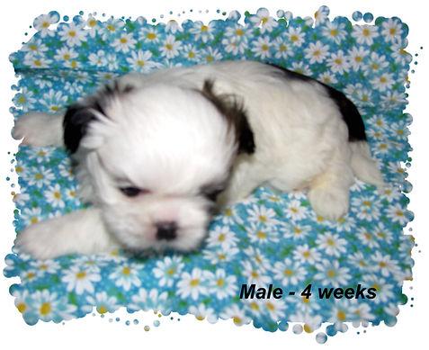 Willow's male 4 weeks.JPG