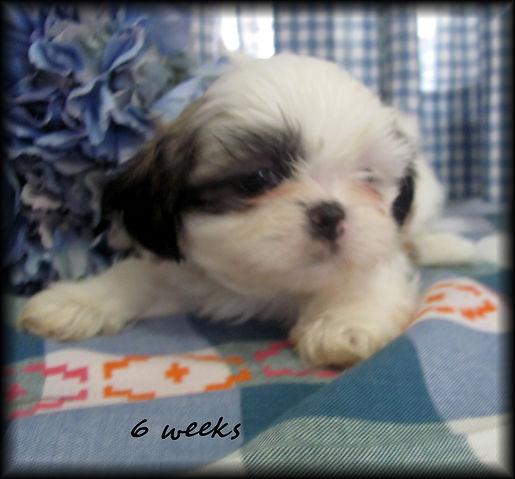 Sassy's #2 male 6 weeks.JPG