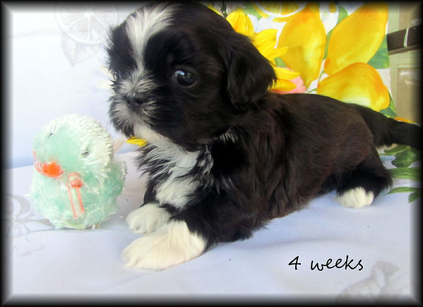 Sassy's #3 male 4 weeks.JPG