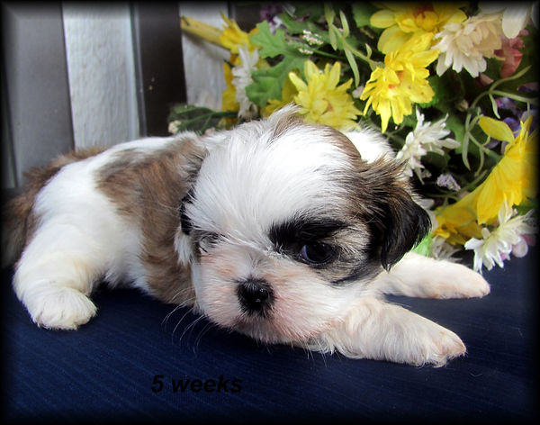 Sophia's #3 female - 5 weeks.JPG