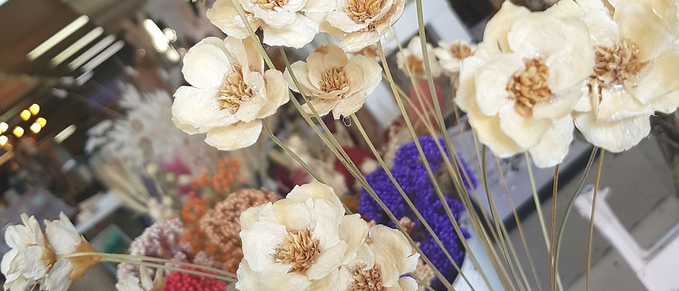 Everlasting Daisy Flower