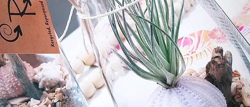 Air Urchin plant