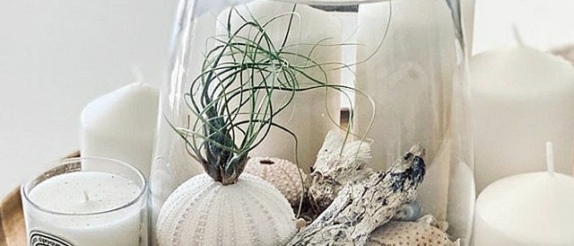Air Urchin plant - X Large