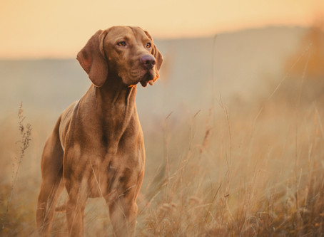 What are the Benefits of CBD oil for Dogs & Cats?