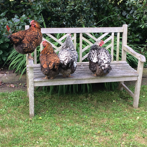 The hens are creatures of habit. They like nothing better than airing their bloomers on the garden bench.