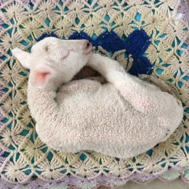 Elizabeth Jane was the smallest lamb born in the 2018 season.