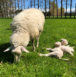 Xanthe the wonder sheep with her first lambs, September 2019.