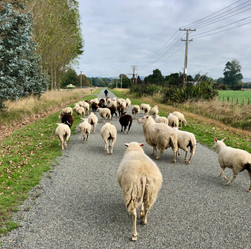 Walking the mob to the home farm.