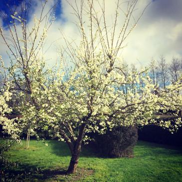Plum tree in blossom, spring.
