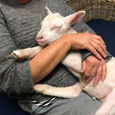 As a lamb, Elizabeth Jane would fall asleep as soon as you picked her up.