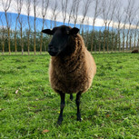Blackie, Miles the sheep farmer's favourite ewe.
