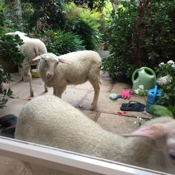 Knock, knock. Who's there? Woolly. Woolly, who? Woolly let us in? (Apologies - Ed.)