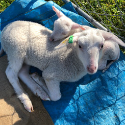 Our pet lambs Xanthe and Elizabeth Jane in their first month.
