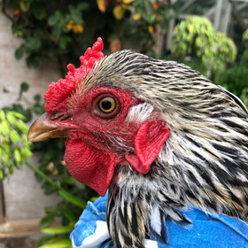 Little Linda, the most evil of the four hens of the apocalypse.