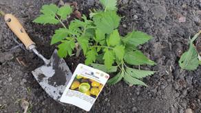 Tomaten richtig pflanzen – Tips und Tricks für deine geliebte Sonnenanbeterin