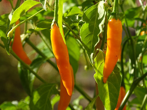 Chili Criolla Sella