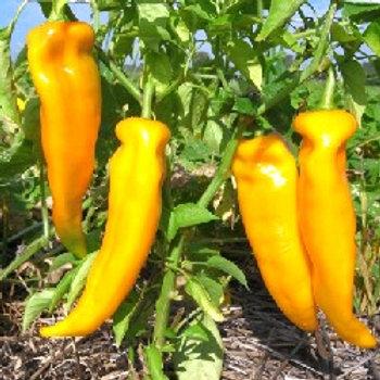 Peperoni gelb süss
