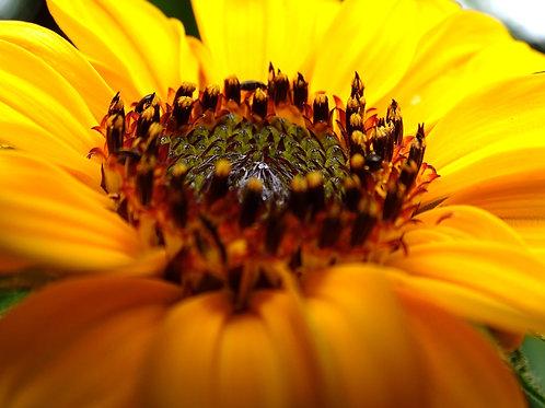 Postkarte Sonnenblume