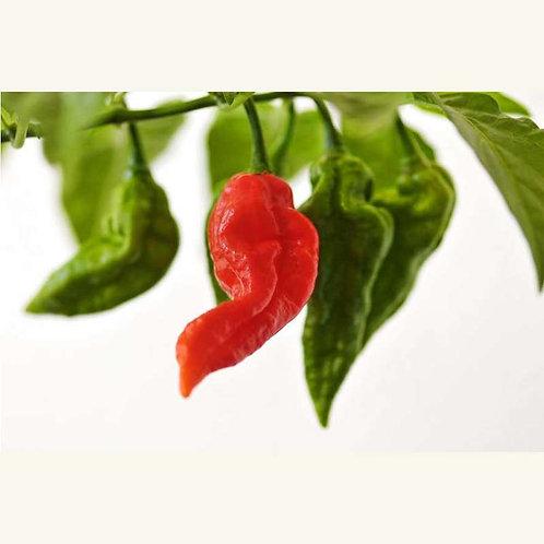 "World's hottest chili ""Bhut Jolokia"""