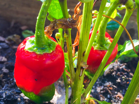 Got Master gardening questions? Get Master Gardener answers!