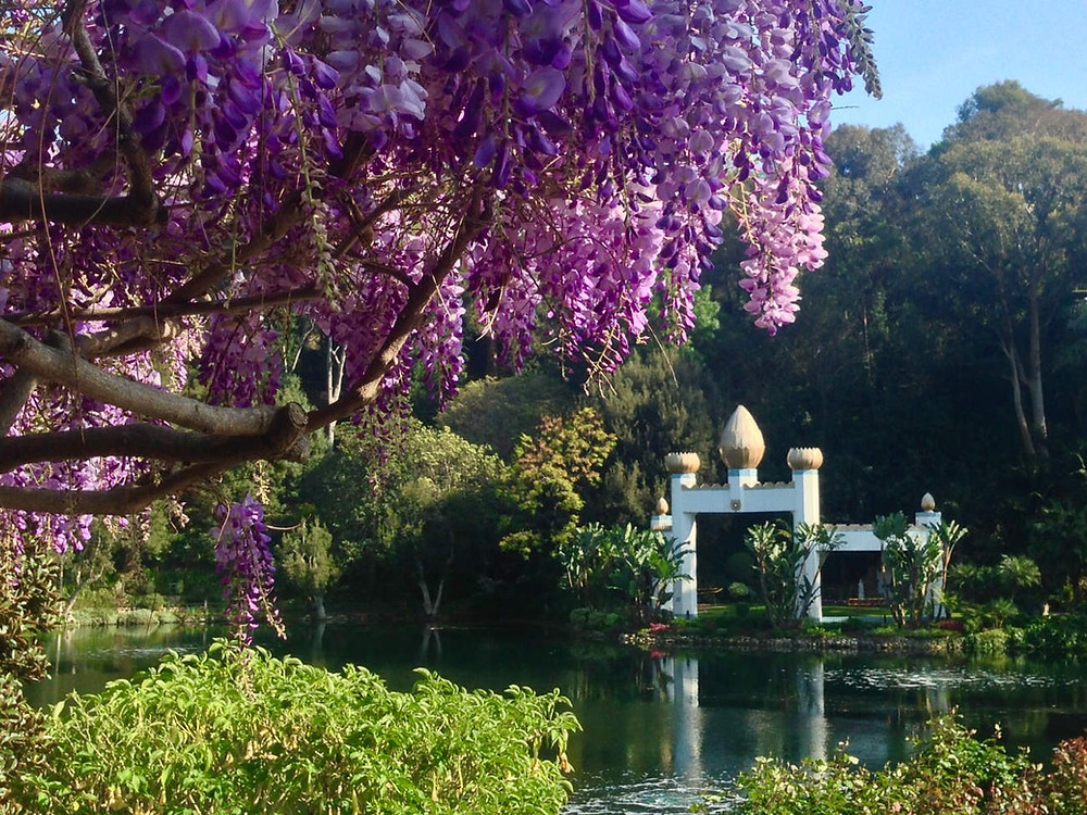 A view across a lake of a golden archway, purple wisteria flowers crowd the foreground