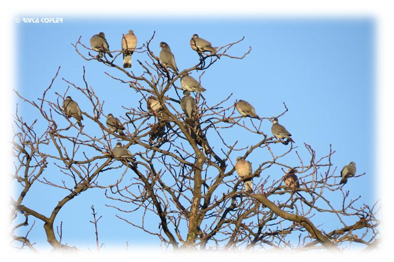 ציפורים של פריז