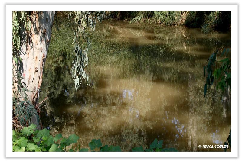 אקליפטוס נושק למי הנחל