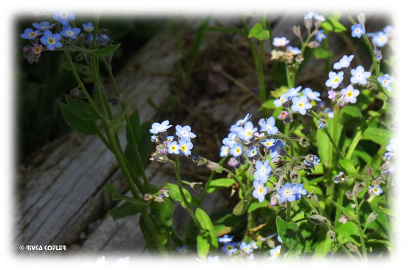 פרחי זיכריני