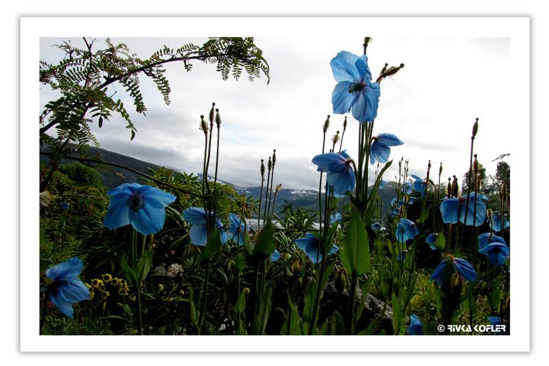 פרחים בצבע תכלת, נורבגיה